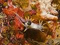 Polycera sp. 004.jpg