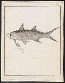 Indian threadfin species of fish