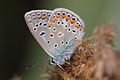 Polyommatus icarus - Burgenland 3.jpg