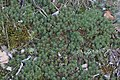 Polytrichum juniperinum (a, 153135-482344) 7047.jpg