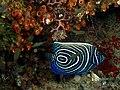 Pomacanthus imperator (Emperor angelfish) juvenile.jpg