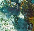 Pomacanthus paru (French angelfish) (San Salvador Island, Bahamas) 1 (16153376205).jpg