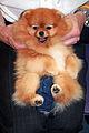 Pomeranian dog show.jpg
