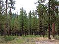 Ponderosa Pines (15396937705).jpg
