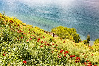 Gegharkunik Province - Poppies on the shores of Sevan