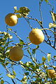 Portugal - Algarve - lemons and blue sky (25699394751).jpg