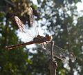 Potomarcha congener female - Flickr - gailhampshire (1).jpg