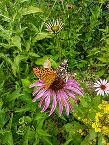 Biogarten Prieros: Kaisermantel, Admiral Und Großes Ochsenauge Auf Blüte  Des Purpur Sonnenhutes