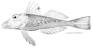 <i>Prionotus</i> genus of fishes