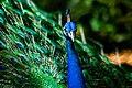 Prison Island Peacock.jpg