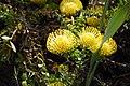 Protea sp2.JPG