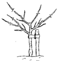 116px-Pruningyear3 Pruning Fruit Trees