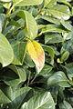 Prunus laurocerasus 10745.JPG