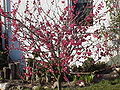 Prunus mume5.jpg