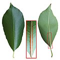 Prunus serotina leaf.jpg