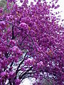 Prunus serrulata, blossoms blooming during spring (2004-04-19).jpeg