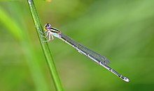 Pseudagrion malabaricum Female.jpg