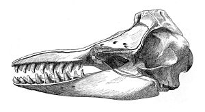 False killer whale - Illustration of the skull of a false killer whale