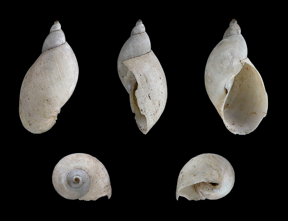 Snail Parasite >> Pseudosuccinea columella - Wikipedia