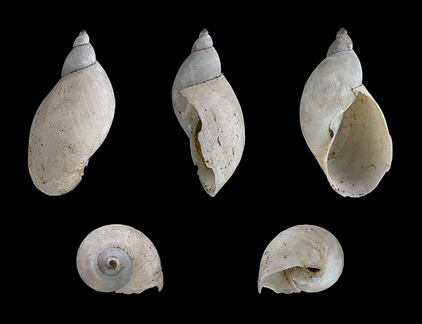 ... ribbed fluke snail is a species of air breathing freshwater snail an