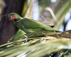 Psittacula longicauda -Queenstown -Singapore-6.jpg