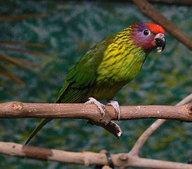 Psitteuteles goldiei -Pittsburgh National Aviary-8-3c.jpg