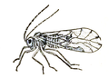 Psocoptera icon.png