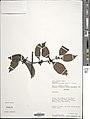 Psydrax acutiflora-NMNH-02503678.jpg
