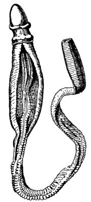 Ptychodera flava in New Caledonia, from Encyclopaedia Britannica (1911).png