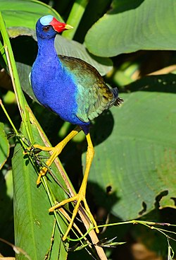 Purple Gallinule5678.jpg