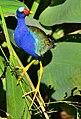 Purple Gallinule5678.jpg