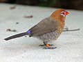 Purple Grenadier female RWD12.jpg