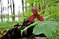 Purple Trilliums (8732202646).jpg