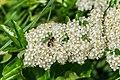 Pyracantha coccinea in Aveyron (2).jpg