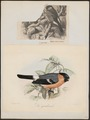 Pyrrhula rubicilla - 1700-1880 - Print - Iconographia Zoologica - Special Collections University of Amsterdam - UBA01 IZ16000309.tif