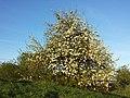 Pyrus pyraster sl18.jpg