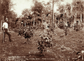 Queensland State Archives 2388 Eighteen month old trees planted and twentyfive acres to be planted at Bartletts Coffee Plantation Blackall Range c 1899.png