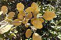 Quercus alnifolia 15.jpg