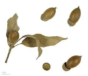 Quercus glauca - Quercus glauca - MHNT