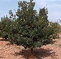 Quercus pubescens g1.jpg