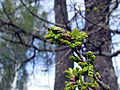 Quercus robur 11.jpg