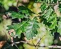 Quercus robur in Aveyron 10.jpg