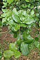Quercus semecarpifolia kz03.jpg
