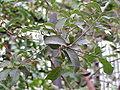 Quercus suber0.jpg