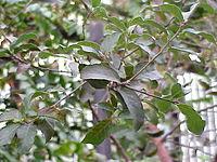 Quercus suber0