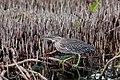 RUFESCENT TIGER-HERON BIRD SURINAM AMAZONE SOUTH-AMERICA (32976527596).jpg