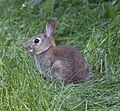 Rabbit (5676385269).jpg