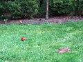 Rabbit and Cardinals - panoramio.jpg