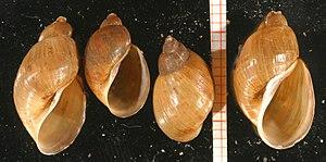 Radix peregra - Four shells of Radix peregra, scale bar shows cm and mm