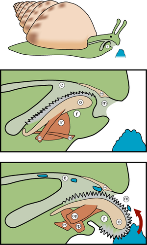 Odontophore - Image: Radula diagram 3